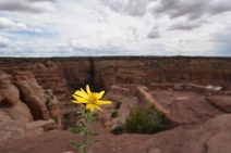 Yellow Flower Canyon de Chelly ©2015 BD King All Rights Reserved